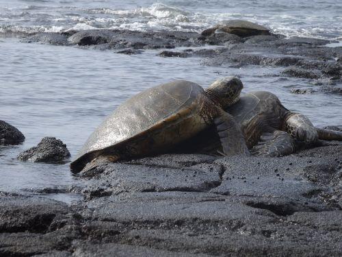 sea turtles turtles aquatic animals