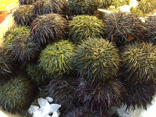 sea urchin sea urchins sea