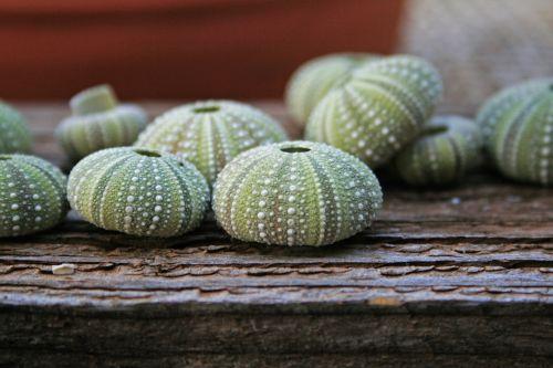 Sea Urchin Shells On Wood Surface