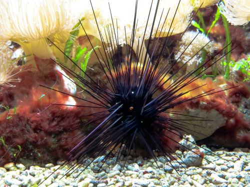 sea urchins gift sting