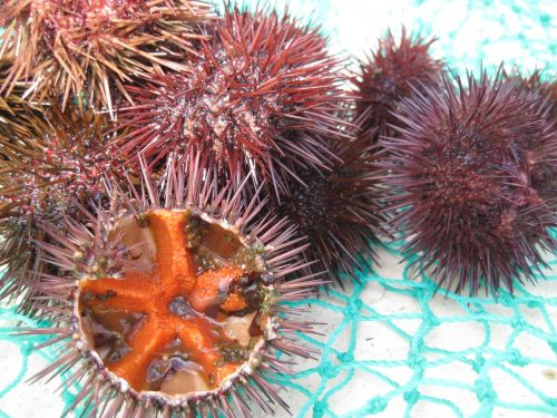 sea urchins seafood fang