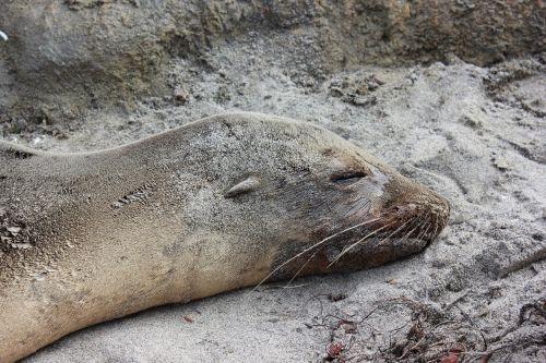 sea wolf seal aquatic mammals