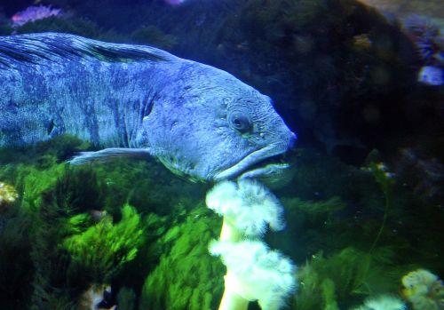 seabass fish aquarium