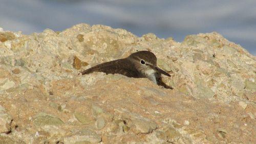 seabird stint migratory