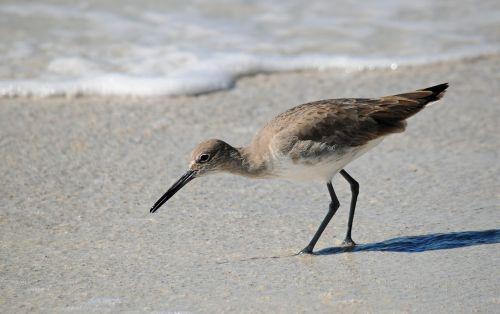 seabird wader shoreline