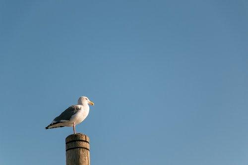 seabird  bird  seagull