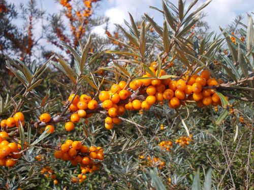 seabuckthorn wild fruits wild berries