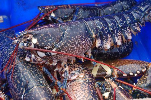 seafood crustacean lobster