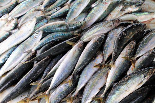 seafood fish sardine