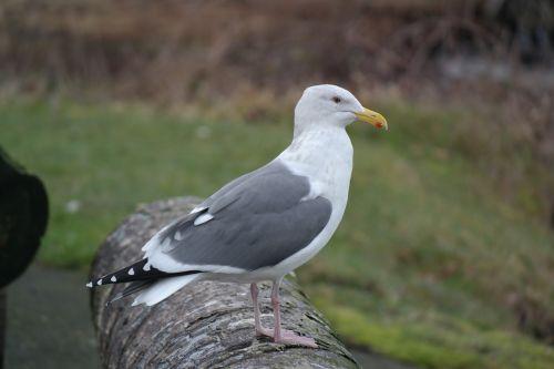 seagull hammond oregon