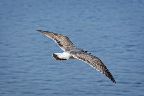 seagull ring-billed feather