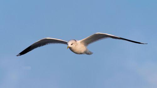 seagull close seevogel