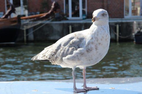 seagull birds plumage