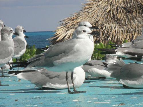 seagull birds beach