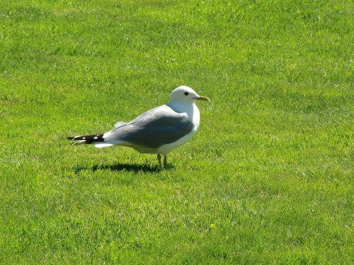 seagull grass summer
