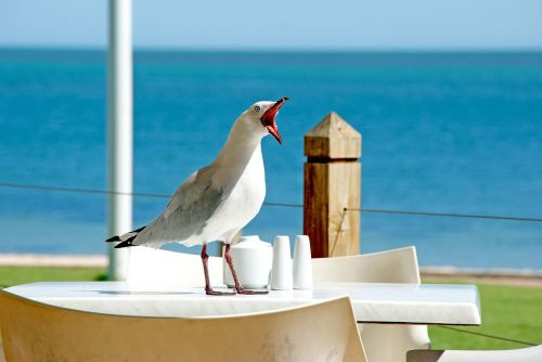 seagull bird beak