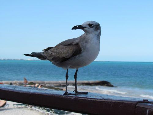 seagull birds mar