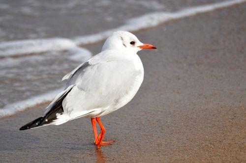 kajakas,papludimys,Baltijos jūra,jūra,vanduo,paukštis,kepuraitė,gyvūnas,paplūdimys,banga,kranto,smėlio paplūdimys šventė