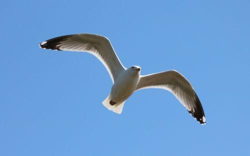 seagull flying bird