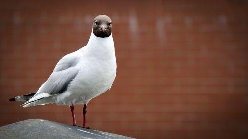 seagull mafia criminal
