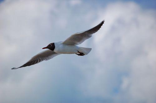 seagull black headed gull bird