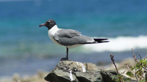 seagull bird british virgin islands