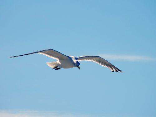 seagull gull fly