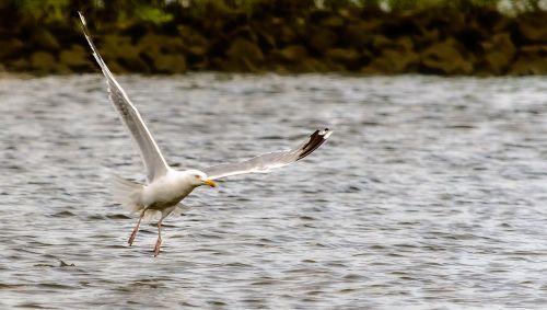 seagull flight bird