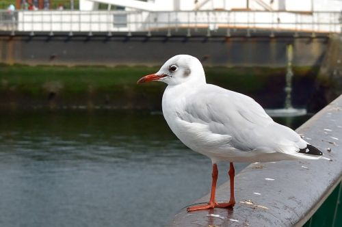 seagull bird port of belfast