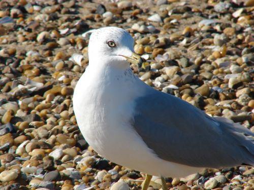 seagull proud pebbles
