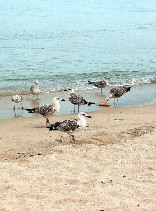 seagull the seagulls birds