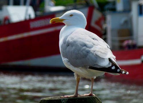 seagull maritime bird