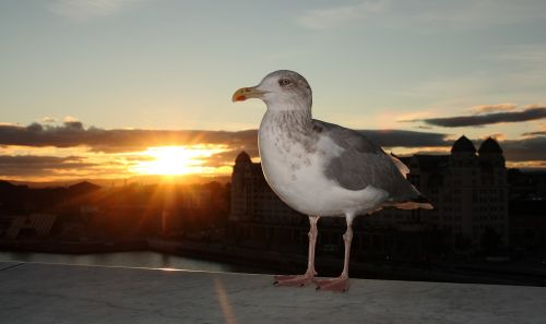 seagull natural sunset