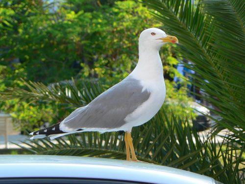 kajakas,miesto laukiniai gyvūnai,ave,paukštis,jūros paukščiai