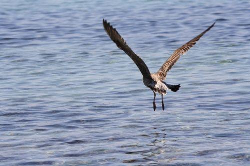 seagull ali flight