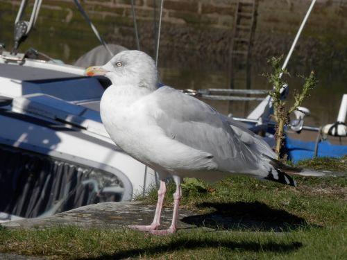 seagull gull bird