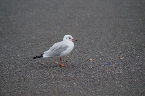 seagull bird foraging
