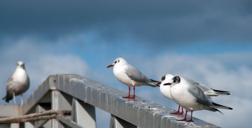 seagull seabirds bird