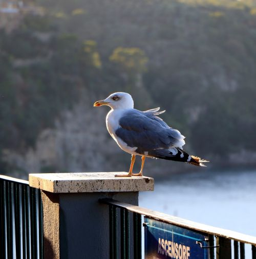 seagull solitary sorrento
