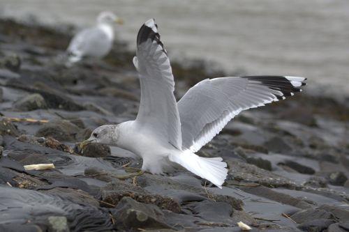 seagull herring gull bread