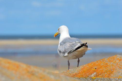 seagull borkum north sea