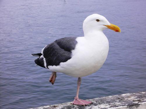 seagull sea bird