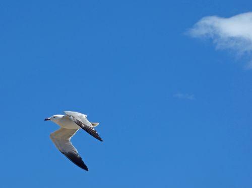 seagull audouin's gull ichthyaetus audouinii
