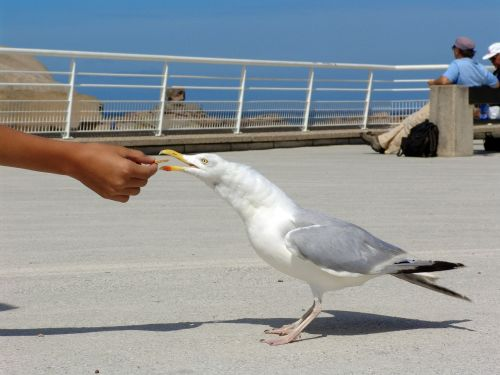 seagull hunger feed