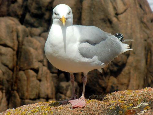 seagull herring gull larus argentatus