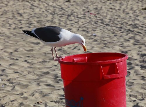 seagull trash bird