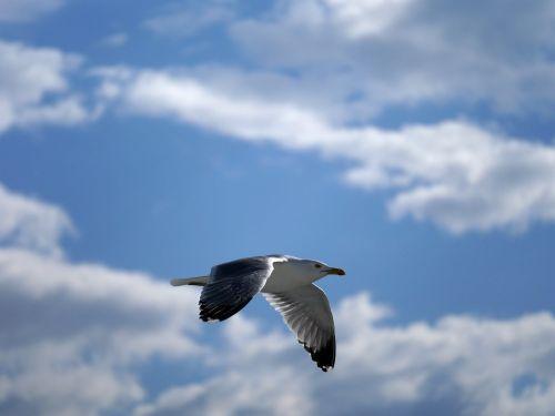 seagull glide flight