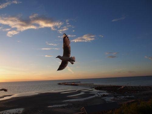 seagull flying gull