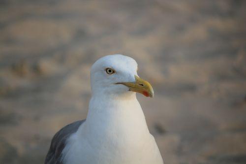 seagull white portrait