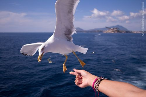 seagull sea ischia